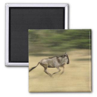 Wildebeest in motion, Connochaetes taurinus, Square Magnet