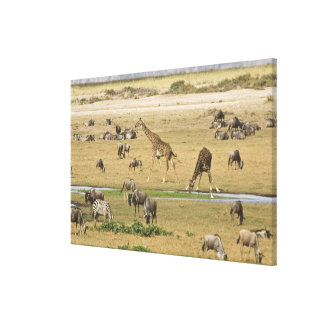 Wildebeests, Zebras and Giraffes gather at a Canvas Print