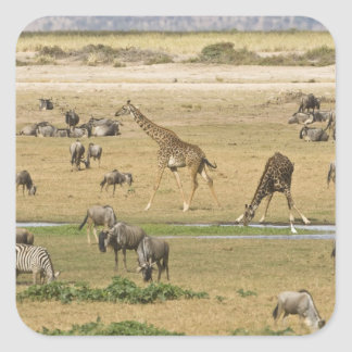Wildebeests, Zebras and Giraffes gather at a Square Sticker