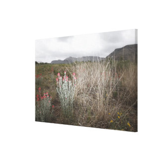 Wildflowers and Plants, Del Rio, Texas, USA Canvas Print