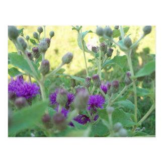 Wildflowers of Oklahoma Postcard