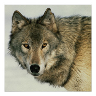 Wildlife Photography Gray Wolf Poster 24x24