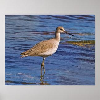 Willet Bird Wading Poster