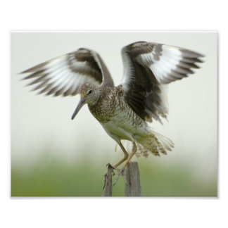 Willet Print Photograph