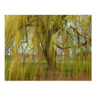 Willow in the Breeze Postcard