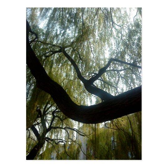 Willow Tree Postcard