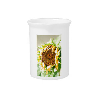 Wilting sunflower pitcher