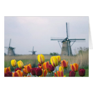 Windmills and tulips along the canal in card