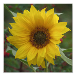 Windswept Sunflower Photo Print