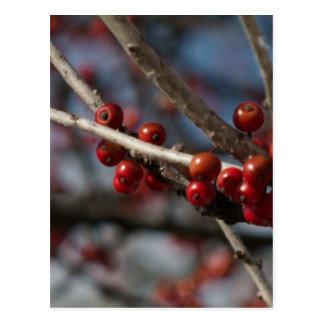 Winter Berries Postcard