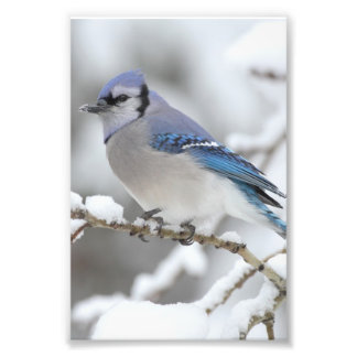 Winter Blue Jay Photographic Print