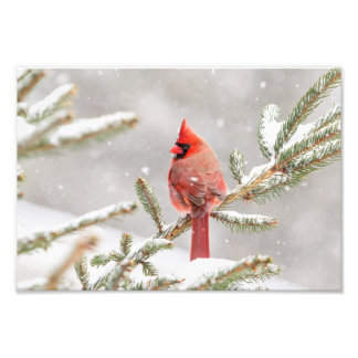 Winter Cardinal Photo Print