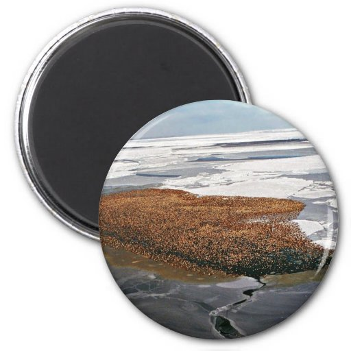 Winter Flock of Spectacled Eiders Refrigerator Magnet