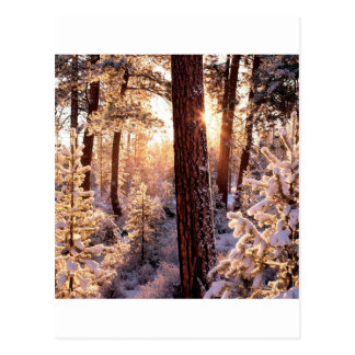 Winter Ponderosa Starburst Fremont Oregon Post Card