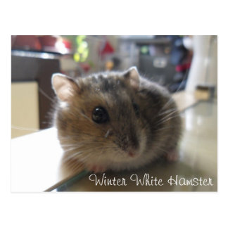 Winter White Hamster Postcard
