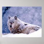 Winter Wolf Resting