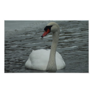 Wintery Swan Posters