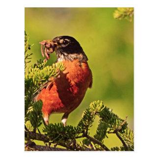 Wisconsin Robin Postcard