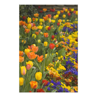 Wisteria and tulips in garden of Dumbarton Photo Print