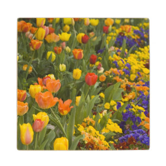 Wisteria and tulips in garden of Dumbarton Wood Coaster