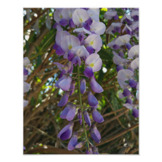 Wisteria blossoms poster