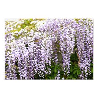 Wisteria Flowers Photographic Print