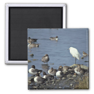 WO, Pintails and Snowy Egrets Fridge Magnets