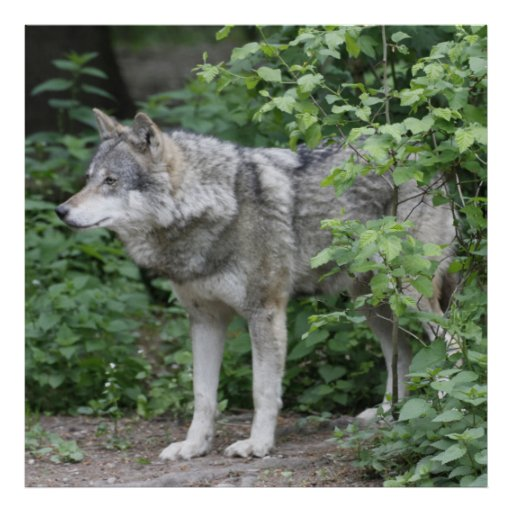 Wolf 14A Print
