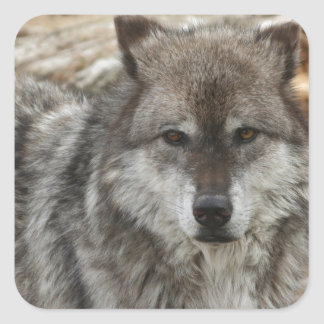 wolf animal face eyes canine forest zoo park square sticker