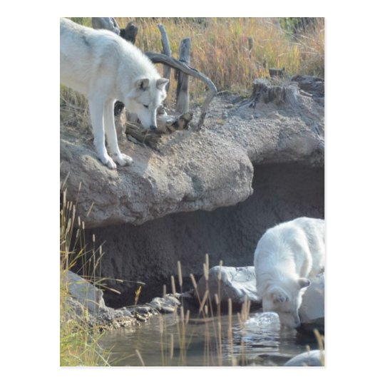 Wolf Animals Peace Love Nature Park Wolves Destiny Postcard