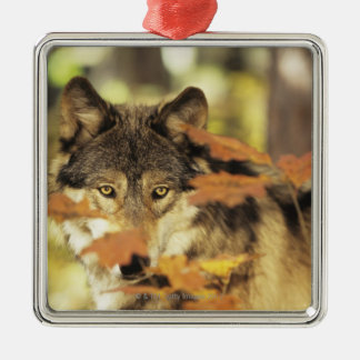 Wolf (Canis lupus) | Autumn Color, Canada Christmas Ornament