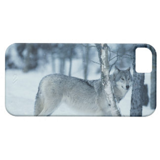 Wolf (Canis lupus) during Winter Barely There iPhone 5 Case