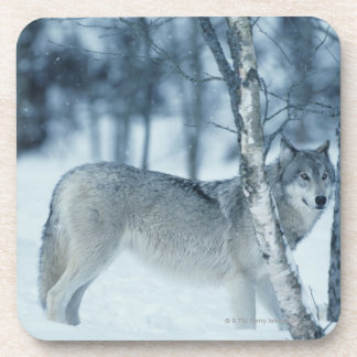 Wolf (Canis lupus) during Winter Coaster