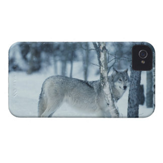 Wolf (Canis lupus) during Winter iPhone 4 Case-Mate Cases