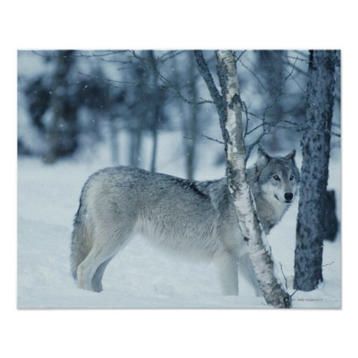 Wolf (Canis lupus) during Winter Posters