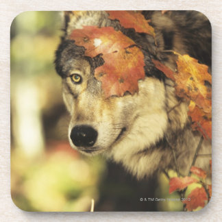 Wolf (Canis lupus), headshot, with Autumn color, Beverage Coaster