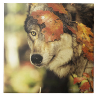 Wolf (Canis lupus), headshot, with Autumn color, Tile