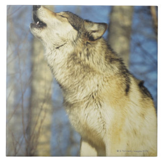 Wolf (Canis lupus) howling, close-up, Canada Large Square Tile