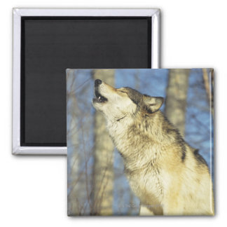 Wolf (Canis lupus) howling, close-up, Canada Magnet