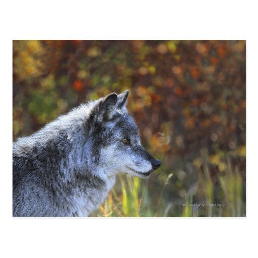Wolf (Canis Lupus) Post Card