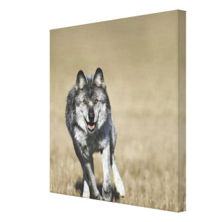 Wolf (Canis Lupus) Running Towards Camera Canvas Print