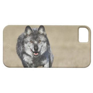 Wolf (Canis Lupus) Running Towards Camera iPhone 5 Covers