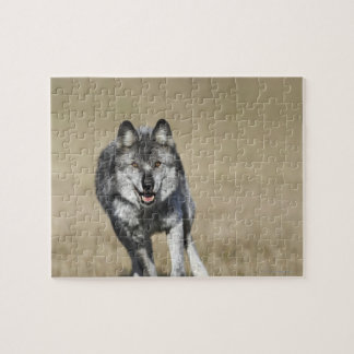 Wolf (Canis Lupus) Running Towards Camera Jigsaw Puzzle