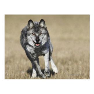Wolf (Canis Lupus) Running Towards Camera Postcard