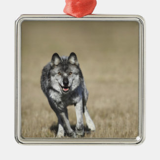 Wolf (Canis Lupus) Running Towards Camera Silver-Colored Square Decoration