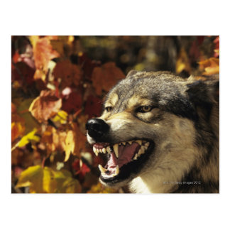 Wolf (Canis lupus) snarling, headshot, with Postcards