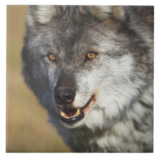 Wolf (Canis Lupus) Tile