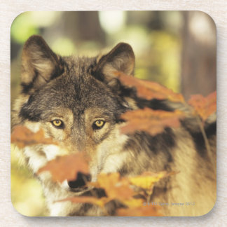 Wolf (Canis lupus) with autumn color, Canada Beverage Coasters