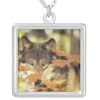 Wolf (Canis lupus) with autumn color, Canada Silver Plated Necklace