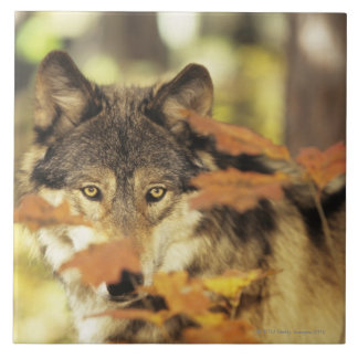 Wolf (Canis lupus) with autumn color, Canada Tile